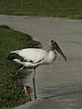 Wood stork red feet 2.jpg