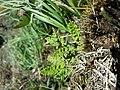 Woodsia alpina sl3.jpg