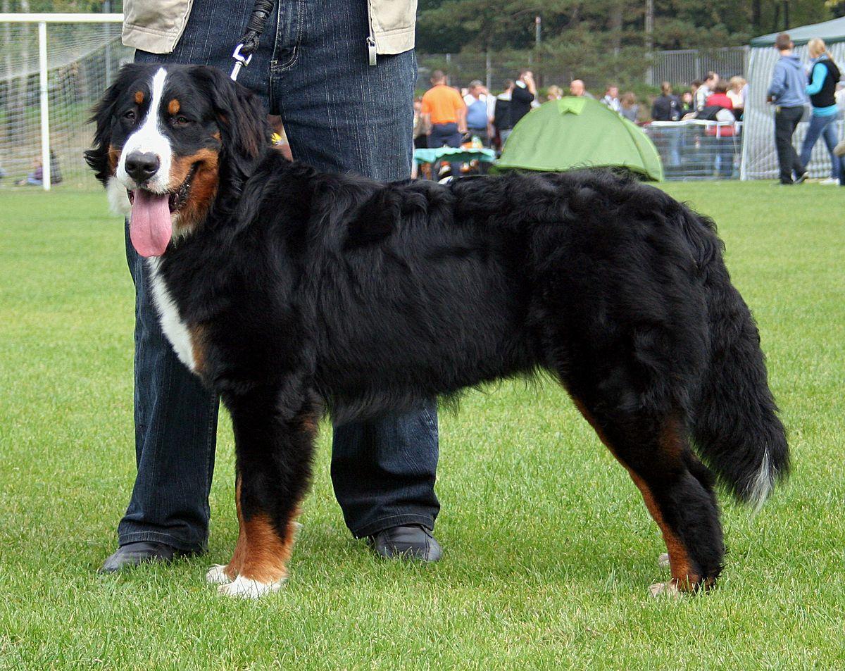 Bernese Mountain Dog Husky Mix For Sale
