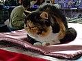 Wystawa kotów 263.JPG