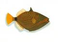 XRF-Balistapus undulatus.png
