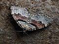 Xanthorhoe designata - Flame carpet - Ларенция капустная (28853297817).jpg