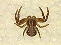 Xysticus sp. (29130755848).jpg