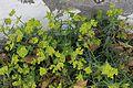 Yaiza - Calle Salida Al Rubicón - Euphorbia serrata 03 ies.jpg