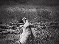 Yawning @ Masai Mara (21485262894).jpg