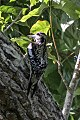 Yellow-bellied Sapsucker (Sphyrapicus varius) (8082122335).jpg