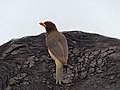 Yellow-billed Oxpecker (Buphagus africanus) on buffalo's back (11687598806).jpg