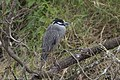 Yellow-crowned Night-Heron Estero Llano SP Mission TX 2018-03-06 11-22-01 (25873124257).jpg