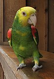 Yellow-headed Amazon (Amazona oratrix) -on wooden shelf.jpg