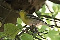 Yellow-throated Vireo National Butterfly Center Mission TX 2018-03-07 14-03-00-2 (40744065611).jpg