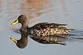 Yellowbilled duck (9703351378).jpg