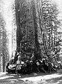 Yosemite Nemzeti Park, óriás mamutfenyő (Sequoiadendron giganteum). Fortepan 70455.jpg