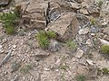 Yucca nana fh 1185.57 UT 2300 m B.jpg