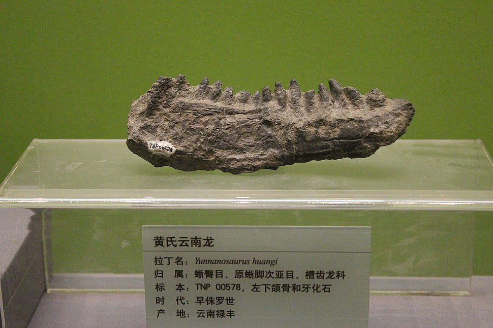 Yunnanosaurus-Tianjin Natural History Museum