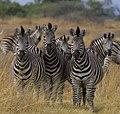 Zebra Botswana.jpg