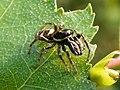 Zebra Spider (Salticus scenicus) (5696216686).jpg