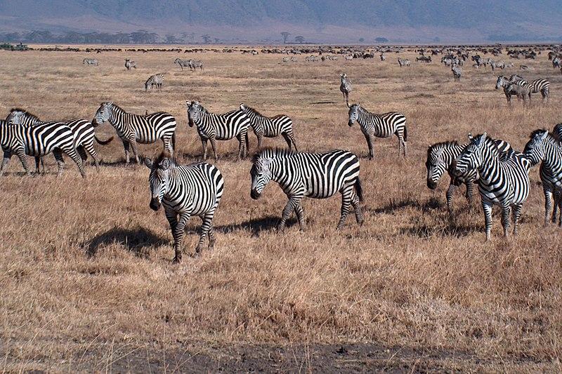 File:Zebraer - panoramio.jpg