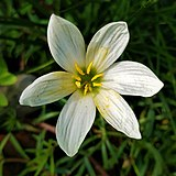 Zephyranthes candida-fully bloomed flower.jpg