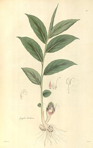 Zingiber barbatum - Adumbration by Nathaniel Wallich