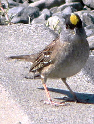 Passerida - The golden-crowned sparrow (Zonotrichia atricapilla) belongs to the bunting family, not the true sparrows.
