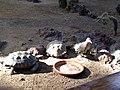 ZooAmerica - Tortoises and Roadrunner, Hersheypark, 2013-08-10.jpg