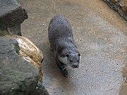 Zoo de Lunaret - Loutre - P1600169.jpg