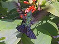 Zumbador verde kolibrik hummingbird.jpg