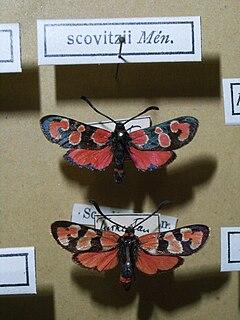 <i>Zygaena fraxini</i> Species of moth