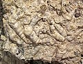 """Turritella Agate"" (fossiliferous lacustrine limestone) (Laney Member, Green River Formation, Middle Eocene; North Barrel Springs Draw, south of Wamsutter, Wyoming, USA) 7 (19868288992).jpg"
