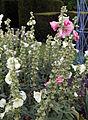 'Alcea rosea' hollyhock West Garden Hatfield House Hertfordshire England.jpg