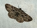 (1937) Willow Beauty (Peribatodes rhomboidaria) (4686844337).jpg