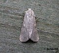 (2385) Small mottled Willow (Spodoptera exigua) (3197708428).jpg