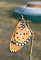 (Danaus chrysippus) plain tiger at Gandhinagar Park 01.JPG