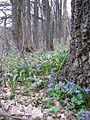 Весенние первоцветы - panoramio.jpg