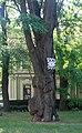 Вікове дерево акації, Святошинський район пр. Перемоги, 73-а.jpg