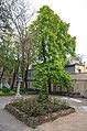 Віковий каштан в закритому дворику краєзнавчого музея2.jpg