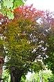 Гілля червоного буку у Хмельницькому.jpg