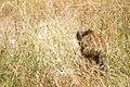 Кабан - Sus scrofa - Wild boar - Дива свиня - Wildschwein (35825147541).jpg
