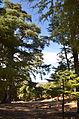 Кедровый лес в Марокко (8064740979).jpg