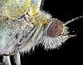 Метелик Капустяний білан.jpg