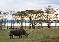 Національний парк Озеро Накуру Носоріг.jpg