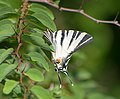 Подалирий - Iphiclides podalirius - Scarce Swallowtail - Лястовичата опашка - Segelfalter (35267370870).jpg