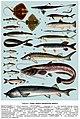 Риби Запорізької області. Табл.1.jpg