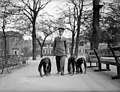 Служитель гуляет с тремя шимпанзе в London Zoo. 13th May 1931.jpg