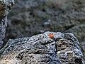 Сонечко-арлекін (Harmonia axyridis) на скелях ок. с. Дениші.jpg