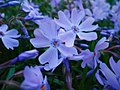 Цветы22.jpg