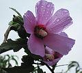 Ծաղիկ2.jpg