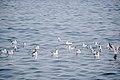 رفتار مرغان دریایی نوروزی یا یاعو در کشور عمان، شهر مسقط، ساحل دریای عمان - عکس مصطفی معراجی 20.jpg