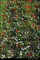 کوک تپه مهاباد - panoramio.jpg