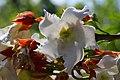 หิรัญญิการ์ Beaumontia grandiflora Wall. FAMILY APOCYNACEAE (8).jpg